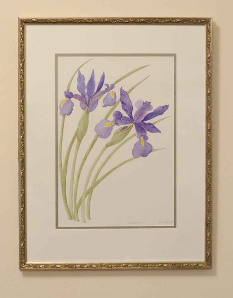 Image of Dutch Iris