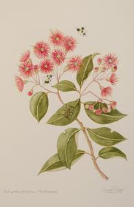 Image of Corymbia ficifolia: Myrtaceae