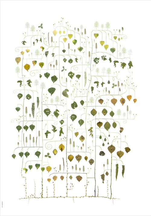 Image of Birch Tree / Björken
