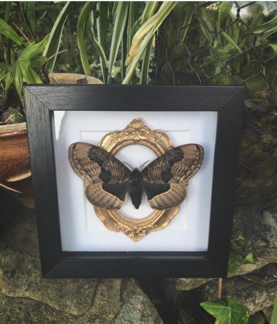 "Image of ""Brahmaea Tancrei"" Russian Owl Moth"